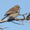 Chipping sparrow, Seal Island, Sep 2008