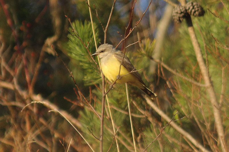 Western Kingbird at Pleasant Hill Cemetery, Lower Sackville, HRM, NS, 2 Dec 2011