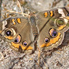 Buckeye butterfly, Brier Island, Pond Cove, 17 Sep 2012