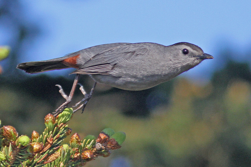Gray catbird taking flight, Brier Island, May 2012