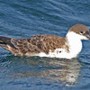 Great shearwater on water, off Brier Island, 15 Sep 2012