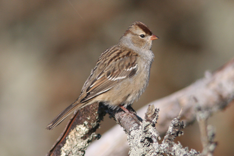 White-crowned sparrow, first winter, Seal Island, 2008 Sep