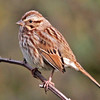 Song sparrow, Brier Island 2010