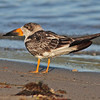 "Immature black skimmer at McCormack Beach, Sep 2010, ""Earl"" fallout"