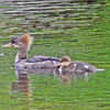Female hooded merganser and young