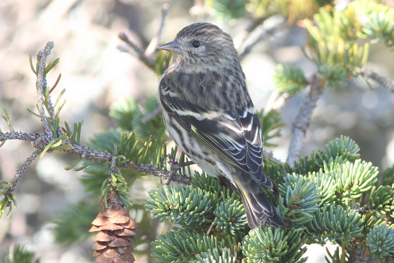 Pine siskin, Seal Island, Sep 2008