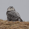 Juvenile snowy owl at Hartlen Point, 23 Dec 2013