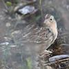 Grasshopper sparrow  seen through grass, Point Pleasant Park, 26 Oct 2016