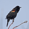 Perched red-winged blackbird, early April