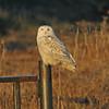 Snowy owl, Grand Pre, 30 Nov 2013