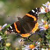 Red admiral butterfly, Brier Island, 17 Sep 2012