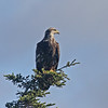 Perched bald eagle Brier Island 22 Oct 2012