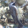 Boreal chickadee, Seal Island, Sep 2008