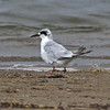 "Forster's tern, Hirtle beach, Sep 2010, ""Earl"" fallout"