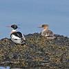 Red-breasted mergansers, pair