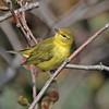 odd warbler thought to be bright fall Tennessee warbler, Brier Is, Oct 2010