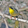 Common yellowthroat, Brier Island, 17 Sep 2012
