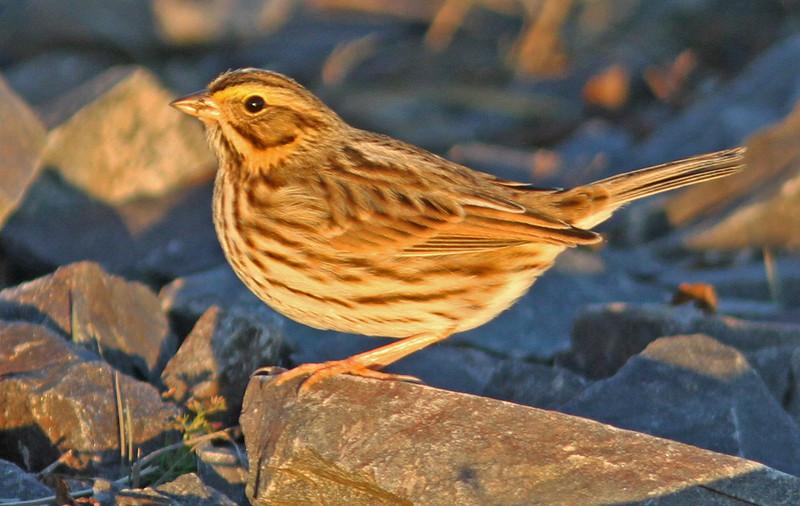 Savannah sparrow, Grand Pre, 30 Nov 2013