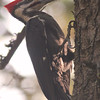 Backlit pileated woodpecker