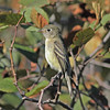 Least flycatcher, Brier Island, 17 Sep 2012