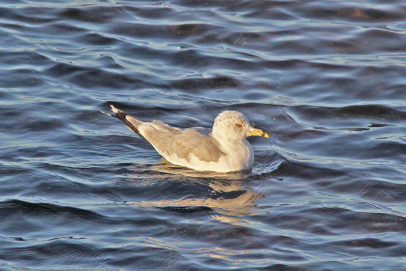 ring-billed gull, adult non-breeding
