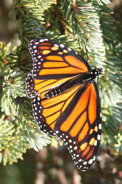 Monarch butterfly, Seal Island, Sep 2008