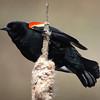 Red-winged blackbird, Miner's Marsh, 2016