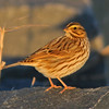 Savannah sparrow, Grand Pre, 30 Nov 2013