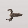 Common loon with mirror-like reflection, Squid Cove (East Chester), 2010