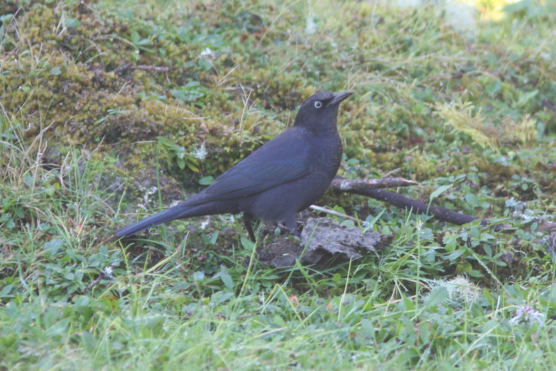 Rusty blackbird, Seal Island, Sep 2008