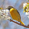 Baltimore oriole in apple blossoms, Brier Island, May 2010