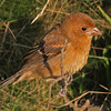 Blue grosbeak (juvenile) at Brier Island - Oct 8, 2011