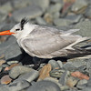 "Royal tern in Eastern Passage, 2010, ""Earl"" fallout"