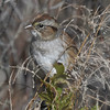 Swamp sparrow at Hell's Pt, 11 Oct 2016