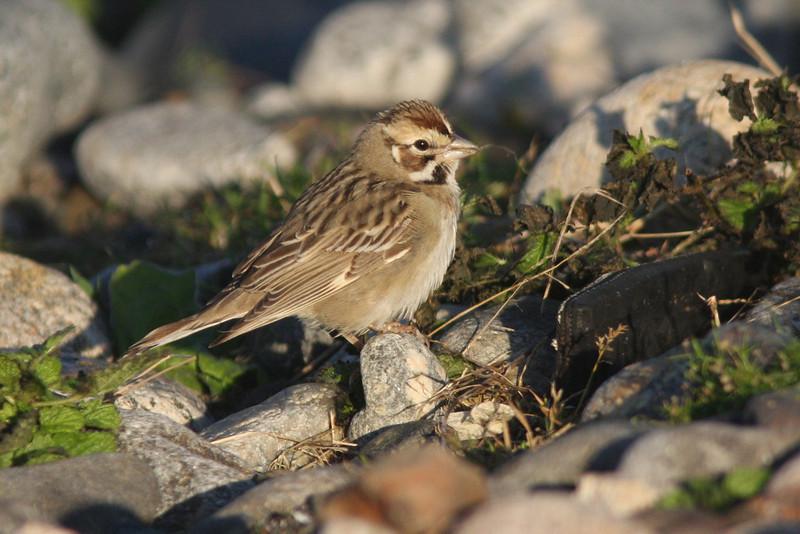 Lark sparrow, Seal Island Sep 2008