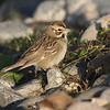 Lark sparrow, Seal Island Sep 2008