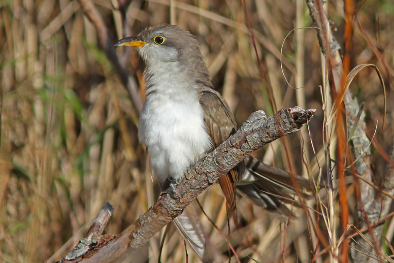 Yellow-billed cuckoo at Hartlen Pt 2010