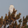 Snowy owl at Hartlen Pt
