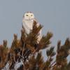 Snowy owl at Hartlen Pt