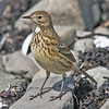 American pipit, Brier Island, 18 Sep 2012