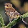 Yellow-rumped warbler Brier Island September 2012