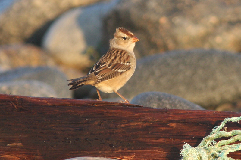 White-crowned sparrow, juvenile/first winter, Seal Island, Sep 2008