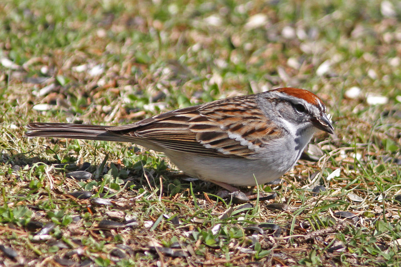 Chipping sparrow at feeder in Squid Cove, early May 2013