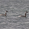 Horned grebes, Mahone Bay, non-breeding