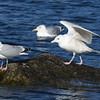 Glaucous gull, Blandford NS, Mar 2017, 3rd winter plumage