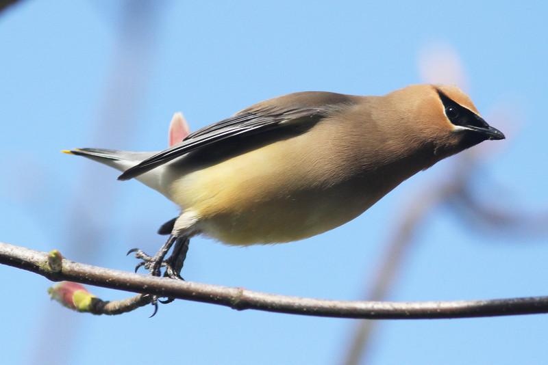 Cedar waxwing taking-off, Brier Island, 20 May 2012