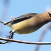 Cedar waxwing taking-off, Brier Island, 20 May 2012