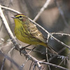 Palm warbler, near Lapland, 15 May 2013