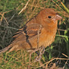 Blue grosbeak at Brier Island - Oct 8, 2011