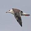 Immature great black-backed gull in flight